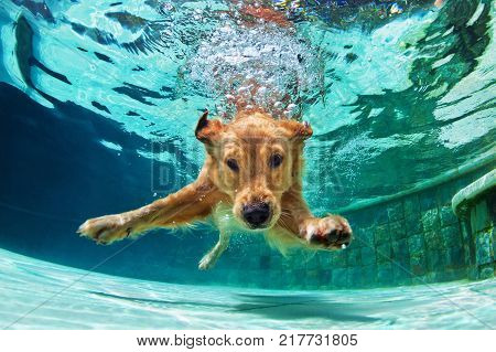 poster of Underwater funny photo of golden labrador retriever puppy in swimming pool play with fun - jumping diving deep down. Actions training games with family pets and popular dog breeds on summer vacation