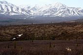picture of caribou  - A caribou looks across the landscape at Denali National Park - JPG