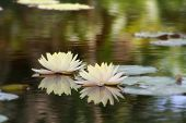 foto of water lily  - Two cream lily flowers floating in a pond of water - JPG