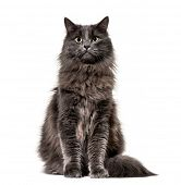 Mixed-breed cat whit a main coon  (1 year old), isolated on white poster