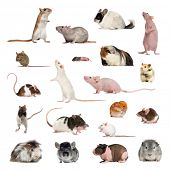 Large collection of rodent, pet and exotic, in different position, Isolated on white background. poster