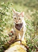 Curious Explorer Tabby Cat In Bandana Walking In Summer Forest Outdoor. poster