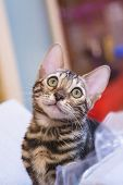 Photo Of A Purebred Tabby And Spotted Bengal Cat Lying And Looking Forward poster