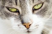 Front View Close-up Animal Portrait Of Green Eyes Of White Tabby Cat. poster