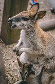 Kangaroo And Baby Joey In The Wild poster