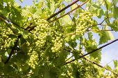 Grape Branches. Ripe Juicy Grapes On Vine In The Garden. Sunny Vineyard Grapes Background poster