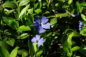 Beautiful Wild Flowers Blue Violet Blooming In Nature poster