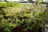Potted Flowers In A Greenhouse. Blooming Multi-colored Flowers. poster