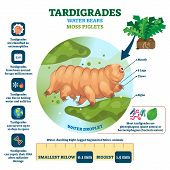 Tardigrades Water Bears Vector Illustration. Labeled Described Moss Piglets Infographic. Educational poster