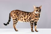 Bengal cat standing on gray background. Purebred cat, full body shot poster