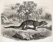 foto of shrew  - Giant Otter Shrew old illustration  - JPG