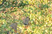 A Leopard, Panthera Pardus, Hiding Behind Mopani Bushes And Looking Back. Whiskers, Eyes And Teeth A poster