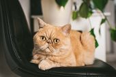 Ginger Exotic Shorthair Cat On Black Chair. Closeup View. Funny Fluffy Cat poster