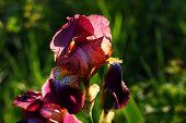 Flowers Of Iris In The Garden, Bearded Irises Wonderful Flower poster