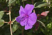 Glory Bush (tibouchina Urvilleana). Known As Lasiandra, Princess Flower, Pleroma And Purple Glory Tr poster
