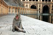 Monkey temple Galwar Bagh in Jaipur, India