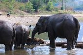 Elephant Spraying Water, A Flock Of Elephants Are Enjoying The Water In The River, The Elephants Are poster