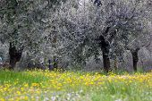 Olive Grove In Spring Time
