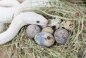Постер, плакат: Техас крыс змеи на кладке яиц