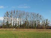 Row Of Mistletoe Covered Poplars, Loire Valley, Anjou,  France