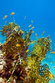 foto of fire coral  - coral reef with great yellow fire coral and fishes at the bottom of red sea  - JPG