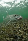 picture of bonefish  - a bonefish is swimming in the grass flats ocean - JPG