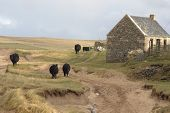 Cattle And House In Scotland