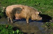 foto of wallow  - Domestic pig wallowing in a mud puddle Westland New Zealand - JPG