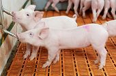 image of piglet  - group of young piglet drinking water at pig breeding farm - JPG