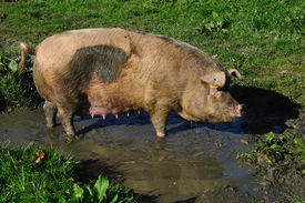 image of wallow  - Domestic pig wallowing in a mud puddle Westland New Zealand - JPG