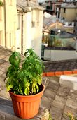 pic of genova  - Basil in the pot on the terrace in Genova Italy - JPG