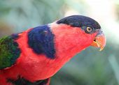 pic of lorikeets  - The Black Capped Lorikeet Bird (Lorius Lory)