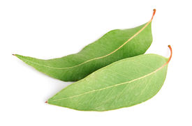 image of eucalyptus leaves  - Eucalyptus leaves on white close up .