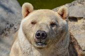 pic of vicious  - Portrait of brown bear or Ursus arctos focused on pray in front of him