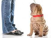 dog training - chinese shar pei sitting with collar and leash on looking up at owner isolated on whi