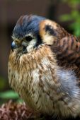 stock photo of small-hawk  - American kestrel or Sparrow hawk - vertical image