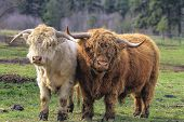stock photo of cattle breeding  - Kyloe Highland Cattle Pair Bull Cow Scottish Breed - JPG
