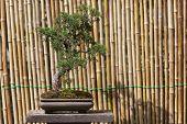 image of bonsai tree  - Beautiful Pomegranate Bonsai Tree in Chiang Mai   - JPG