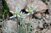 foto of edelweiss  - Edelweisses is an alpine perennial plant native to mountains of Europe and Middle Asia. This is the flowers from Tian Shan Mountains ( Kazakhstan).