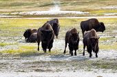 foto of prairie  - Front view of angry North American Buffalo staring directly forward while grazing in prairie near a hot spring - JPG