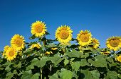 picture of edible  - Helianthus annuus - JPG