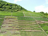 picture of moselle  - vineyards on green hills in Moselle district Germany - JPG