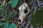 picture of backwoods  - Old skull of a predator in the backwoods.
