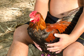 stock photo of game-cock  - A Thai Local People With Cock Fighting In A Farm - JPG