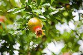 picture of pomegranate  - Pomegranates grow on a pomegranate tree - JPG