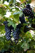 stock photo of vines  - Red Wine Grapes on a vine vines on Lake Garda in Italy - JPG