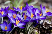 picture of early spring  - somr blue crocus blossoming in early spring - JPG