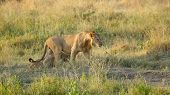 stock photo of leo  - A young male lion Panthera Leo walking in the savannah in Serengeti National Park Tanzania - JPG
