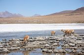 stock photo of lamas  - Vicugnas or wild lamas in Altiplano - JPG