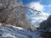 pic of birching  - bended birch in the winter forest on the bank of the river - JPG